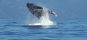Whales Art - Humpback Whale Breaching by Bob Christopher