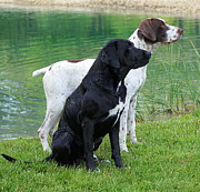 Water Retrieve Posters - Hunting Dogs 1 Poster by Rachel Munoz Striggow