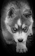 Huskies Prints - Husky Stare Print by Tracy B