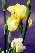Yellow Bearded Iris Framed Prints - I Only Have Iris for You Framed Print by Kathy  White