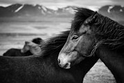 Scandinavian Prints - Icelandic Horses Print by David Bowman