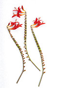 Trio Prints - If Seahorses Were Flowers Print by Carol Leigh