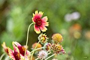 Galveston Prints - Indian Blanket Print by Scott Pellegrin