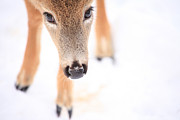 Deer In Snow Prints - Innocent Eyes Print by Karol  Livote