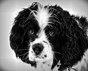 Spaniels Originals - Jack by Cindi Snow