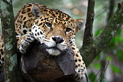 Jaguars Framed Prints - Jaguar South America Framed Print by Paul Kennedy