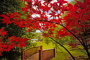 Fences Prints - Japanese Maples Print by Debra and Dave Vanderlaan