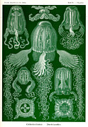 Jelly Fish Paintings - Jelly Fish by Ernst Haeckel