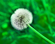 All Dandelions - Just Dandy Green by Andee Photography