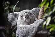 Wild Animal Photo Posters - Koala Bear Poster by Tom Mc Nemar