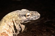 Maria Urso - Artist and Photographer - Komodo Dragon