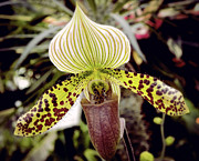 Julie Palencia - Lady Slipper Orchid
