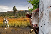 Liane Wright - Landscape - Animals - Peek A Boo Cow