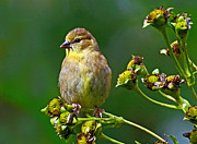 Seedpods Prints - Late Summer Finch Print by Rodney Campbell
