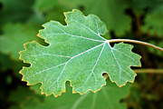 Grape Leaf Framed Prints - Leaf Framed Print by Nikolyn McDonald