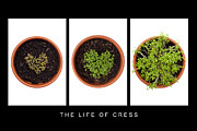 Anne Gilbert - Life of Cress