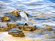 Marilyn Holkham Prints - Little Blue Heron Print by Marilyn Holkham