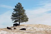 American Bison Prints - Lone Pine Print by Dakota Light Photography by Nadene