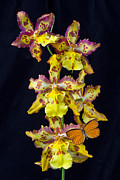 Insects Posters - Lovely Orchid With Butterfly Poster by Garry Gay