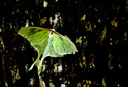 Randall Branham - Luna Moth on Tree