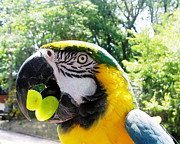 Blue Grapes Photos - Macaw loves Grapes by Simon Carvalho