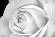 Jennie Marie Schell - Macro White Rose in Monochrome