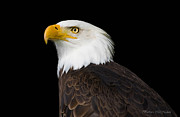 Barbara McMahon - Magestic Bald Eagle