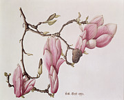 Pink Flower Branch Paintings - Magnolia X Soulangiana by Ruth Hall