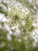 Prized Framed Prints - Majestic Queen -  Queen Annes Lace Daucus Carota Framed Print by Angie Rea