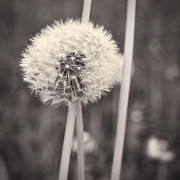 Flower Head Photos - make a wish II by Priska Wettstein