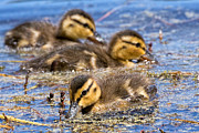 Baby Mallards Posters - Mallard Ducklings Poster by Kathleen Bishop