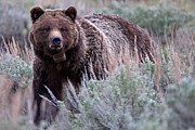 Natural Focal Point Photography Metal Prints - Mama Grizzly Metal Print by Natural Focal Point Photography