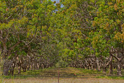 Mango Photo Prints - Mango Orchard Print by Douglas Barnard