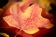 Fallen Leaf Photos - Maple Leaf by Charline Xia