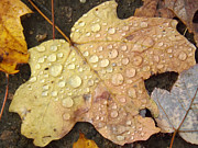 Fallen Leaf On Water Photo Metal Prints - Maple Leaf Dew Drops Metal Print by Brenda Brown