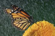 Light Streak Posters - Monarch Butterfly Danaus Plexippus In Poster by Thomas Kitchin & Victoria Hurst