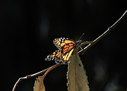 Roger Mullenhour - Monarch On A Branch