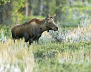 Gros Ventre Posters - Moose Calf Poster by Gary Langley