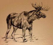 Elk Drawings - Moose Sketch by Derrick Higgins