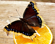 Appleton Art Metal Prints - Morning Cloak Butterfly Metal Print by Carol Toepke