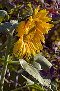 Large Sunflower Framed Prints - Morning Sunshine Framed Print by Sharon  Talson