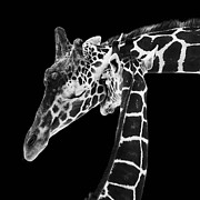 Black-and-white Photo Prints - Mother and Baby Giraffe Print by Adam Romanowicz