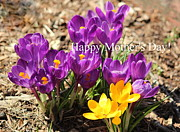 Rosanne Jordan - Mothers Day Crocus