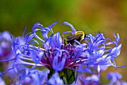 Centaurea Montana Photo Posters - Mountain Cornflower and Bumble Bee Poster by Byron Varvarigos