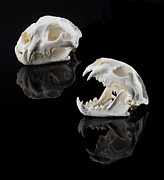 Jerry McElroy - Mountain Lion Skulls