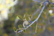 Horsetooth Reservoir Photos - Mountain Mahogany by Michael Gourley