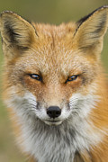 Vulpes Posters - Mr Red Portrait Poster by Mircea Costina Photography