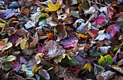 Purple Artwork Posters - Multicolored Autumn Leaves Poster by Rona Black
