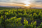 Wine Vineyard Framed Prints - Napa Valley Sunset  Framed Print by John McGraw