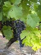 Winery Photography Prints - Napa Valley Vineyard Grapes Print by Jennifer Lamanca Kaufman